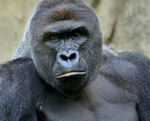 How to Explain to Your Kids Why Some People Think Gorillas and Humans Are Equally Valuable